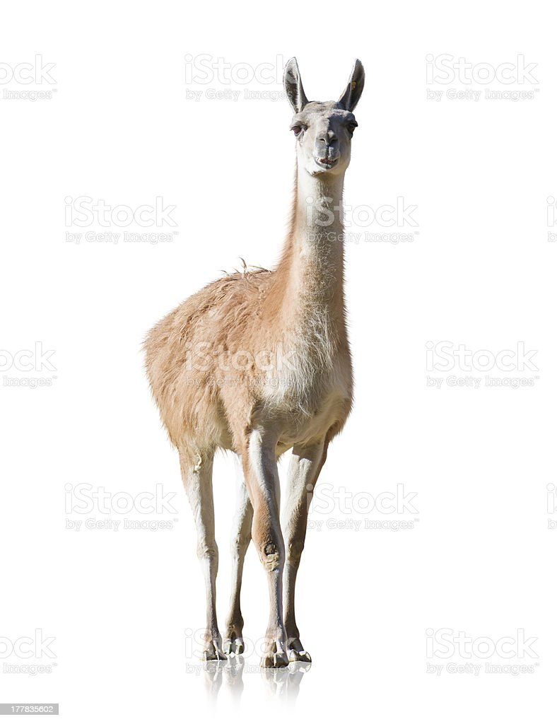 Portrait Of Llama stock photo
