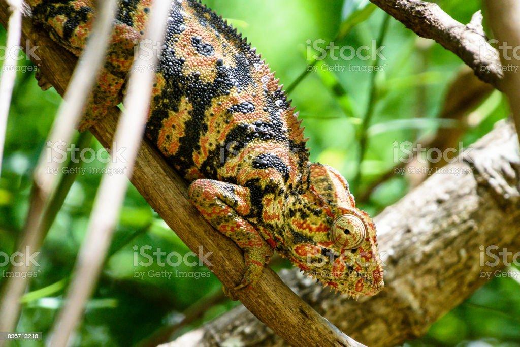 Portrait of Madagascar Chameleon stock photo