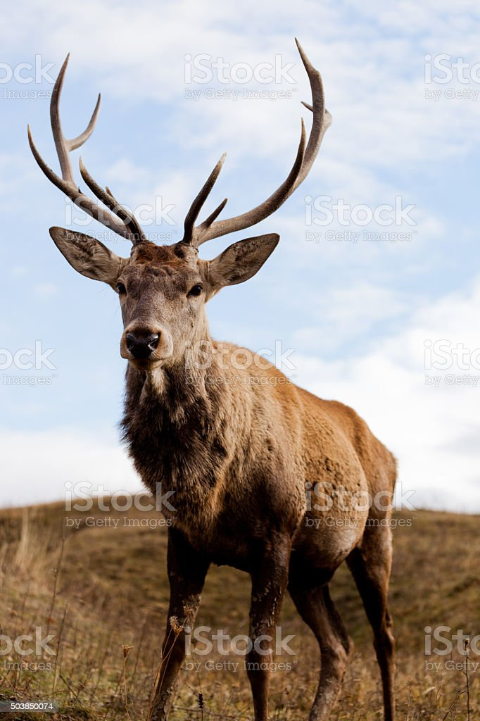 Portrait of majestic powerful adult deer stag in Autumn highlands stock photo