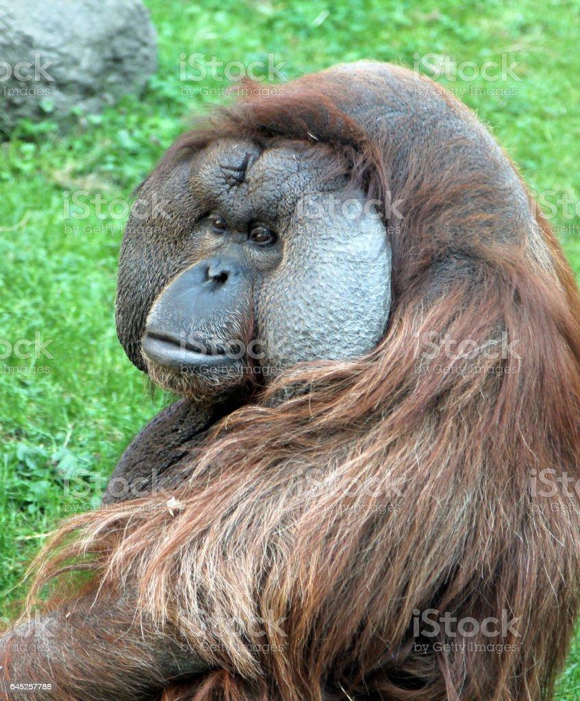 Portrait of male Bornean orangutan (Pongo pygmaeus) stock photo