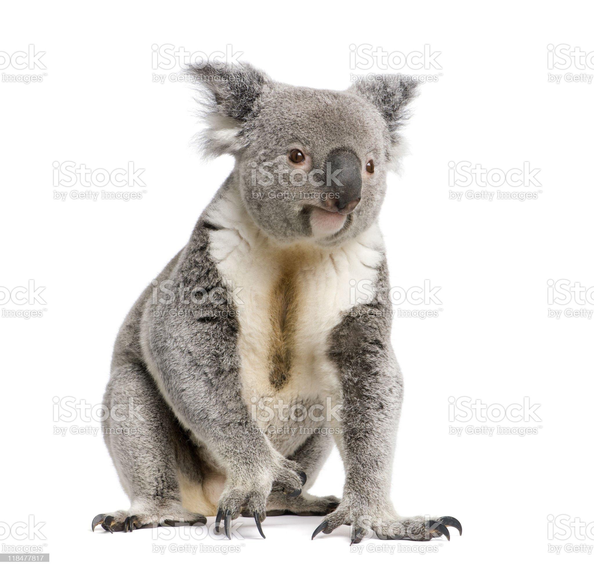 Portrait of male Koala bear against white background royalty-free stock photo