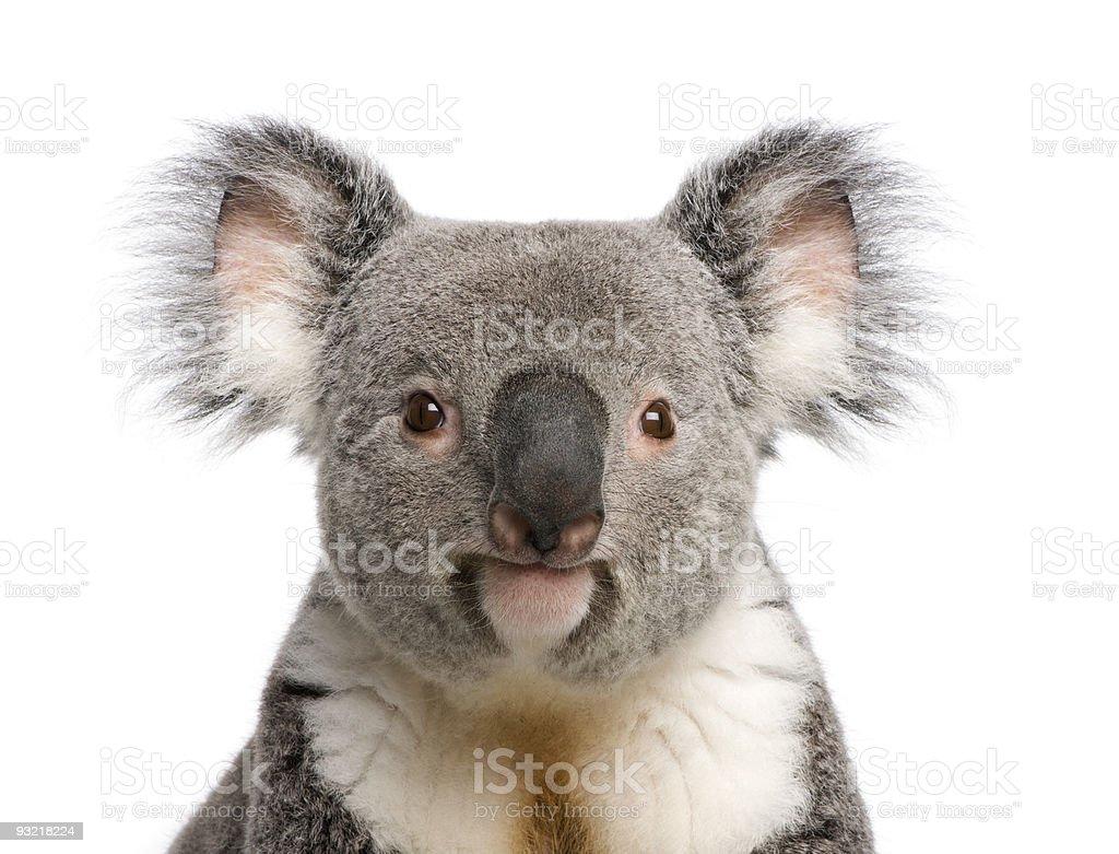 Portrait of male Koala bear against white background stock photo