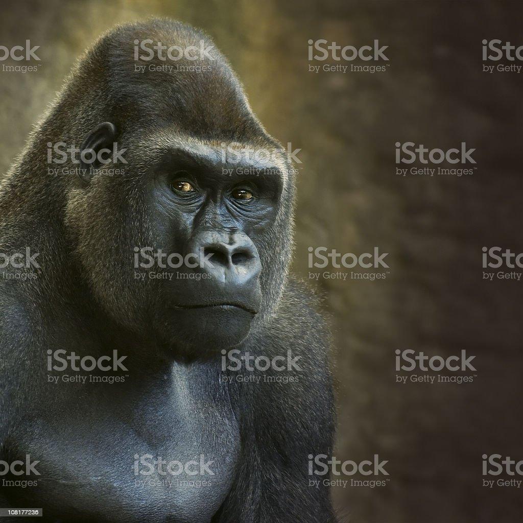 Portrait of Male Lowland Gorilla in Captivity stock photo