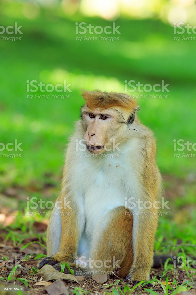 Portrait of male macaque. stock photo