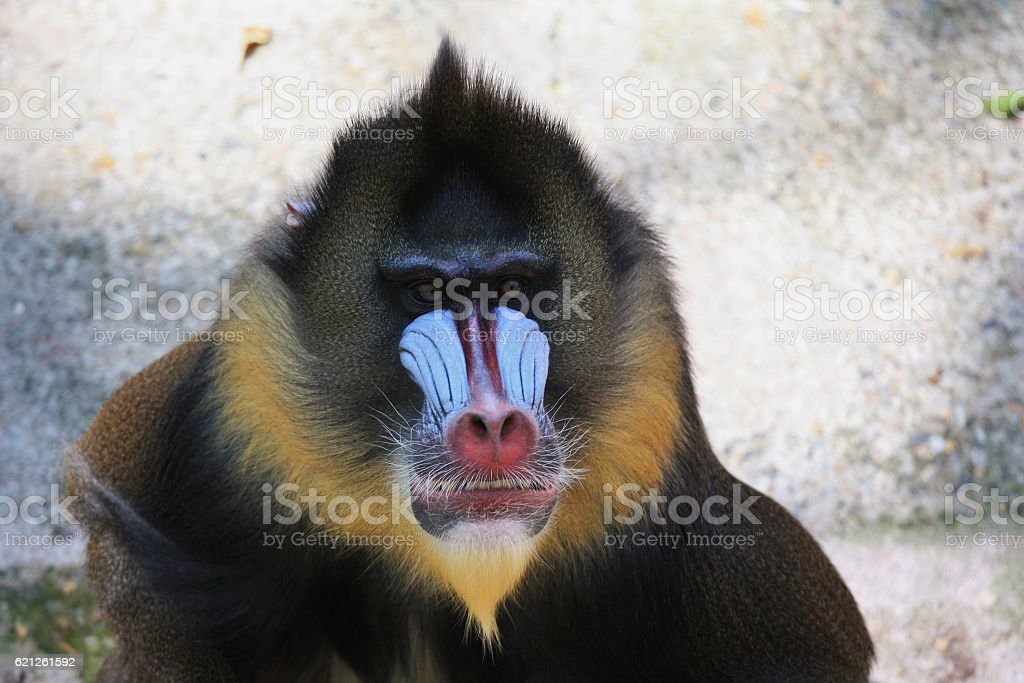 Portrait of mandrill, big monkey with red nose, huge nostrils stock photo