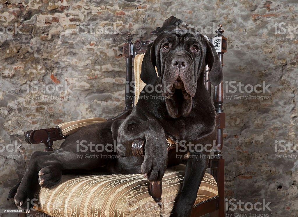 Portrait of Mastiff neopolitano dog stock photo