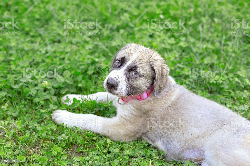 Portrait of Mastiff puppy lying on green grass stock photo