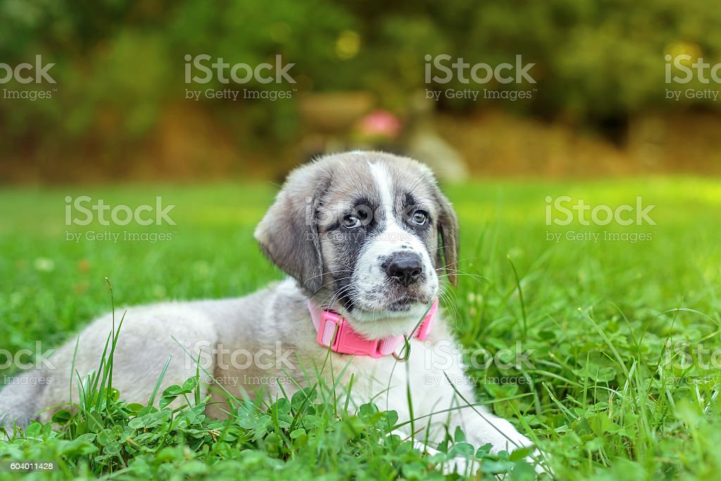 Portrait of Mastiff puppy on green grass at sunset foto royalty-free