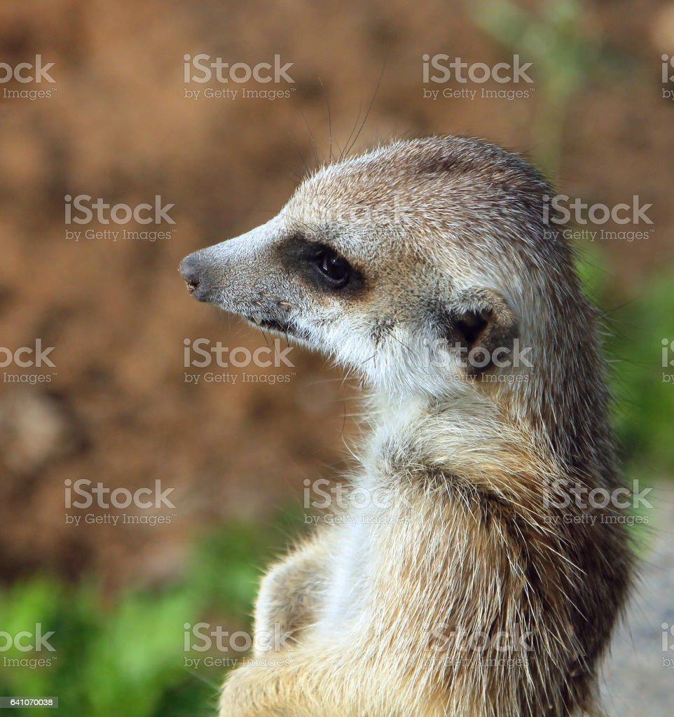 Portrait of meerkat (Suricata suricatta) stock photo
