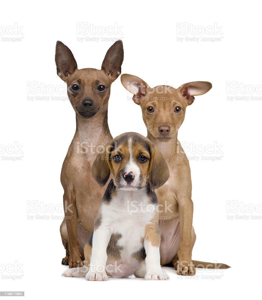 Portrait of Miniature Pinschers and Beagle puppy against white background royalty-free stock photo