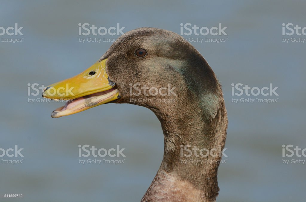 Portrait of Mixed breed duck stock photo
