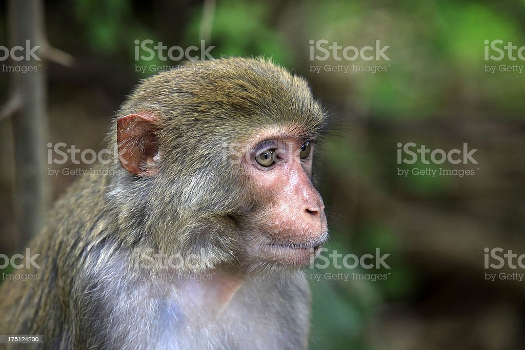 Portrait of monkey royalty-free stock photo
