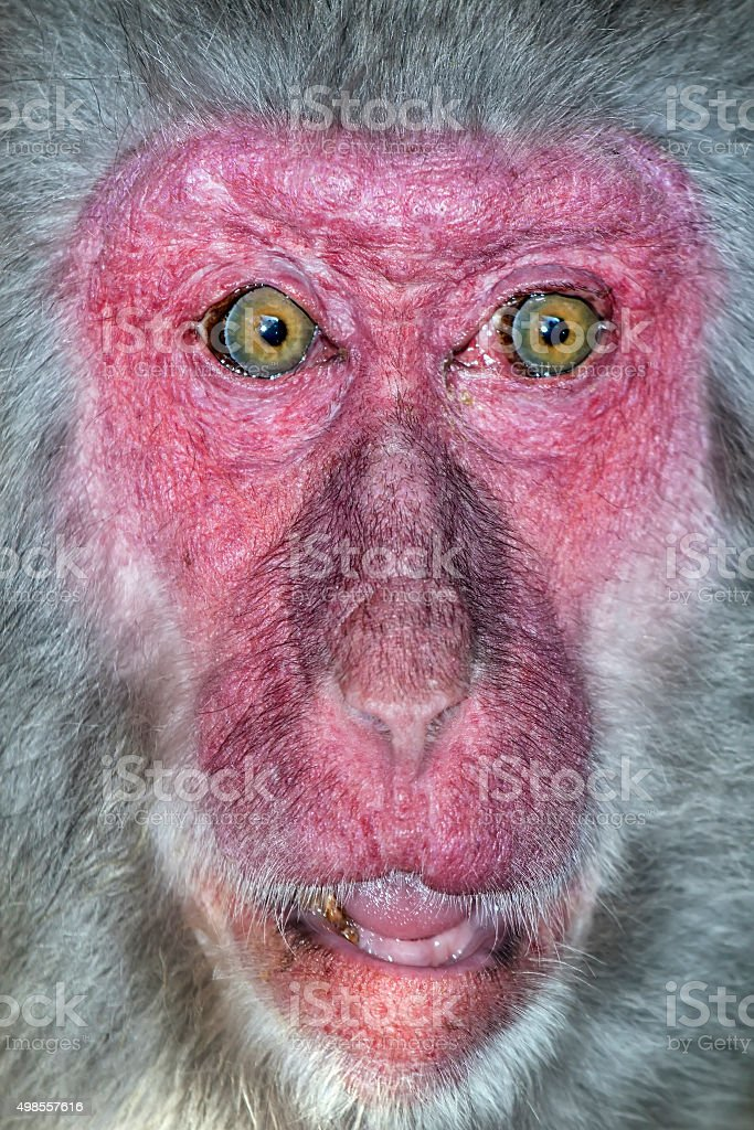 Portrait of monkey with a surprise expression stock photo