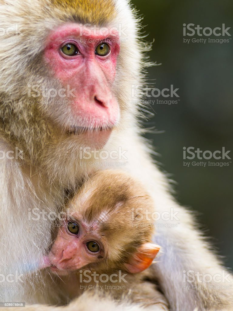 Portrait of mother and baby Snow Monkey stock photo
