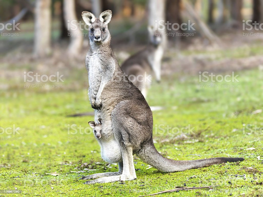 portrait of mother kangaroo with joey in pouch stock photo