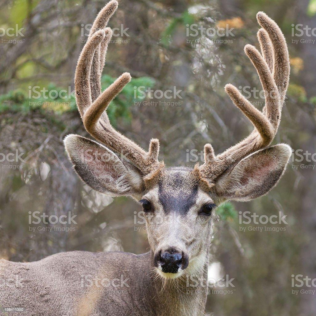 Portrait of mule deer buck with velvet antler royalty-free stock photo