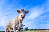 Portrait of nice brown cow in a field