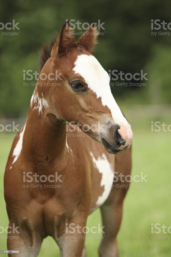 Portrait of nice Paint horse filly royalty-free stock photo