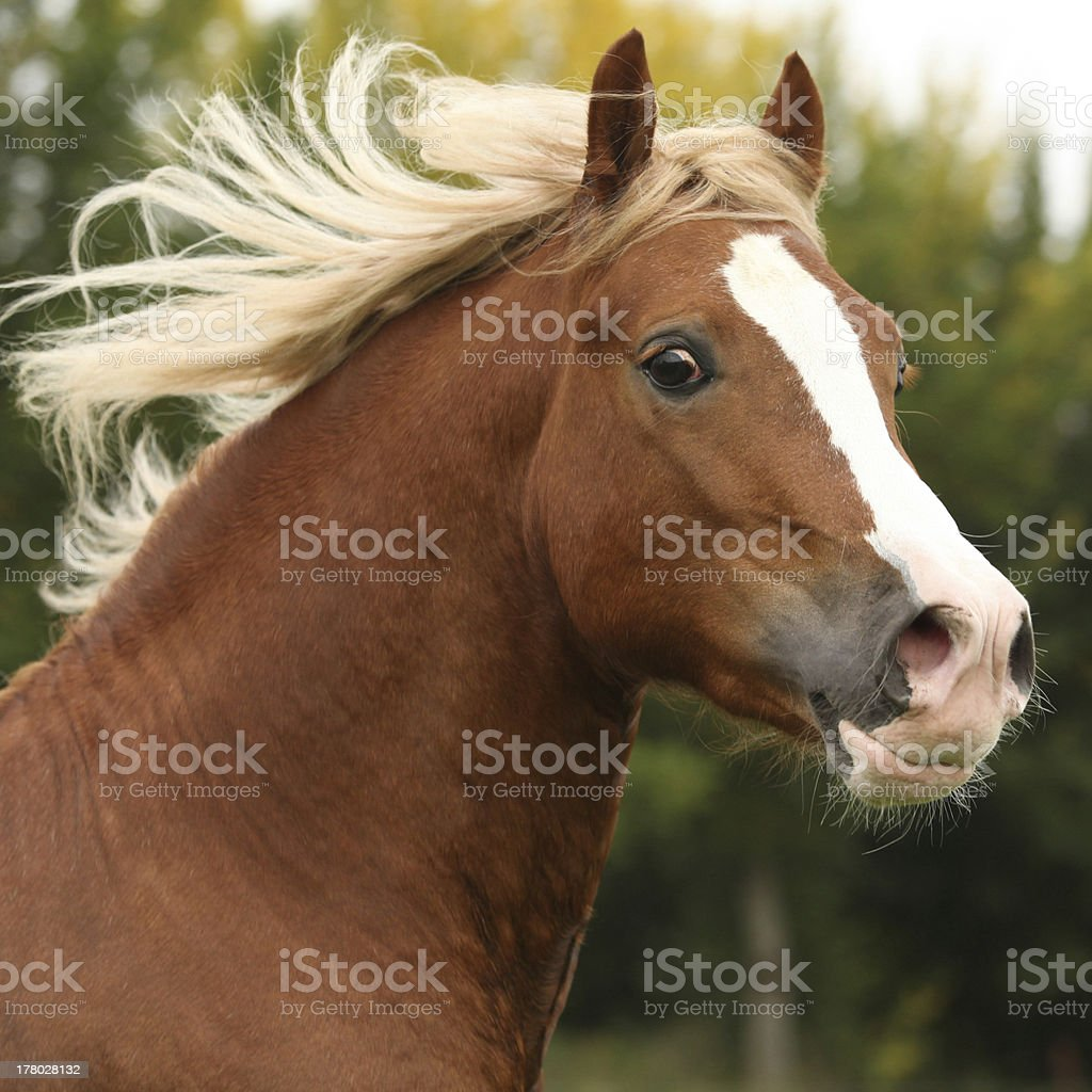 Portrait of nice welsh pony stallion with blond hair stock photo