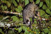 Portrait of nocturnal animals Asian palm civet