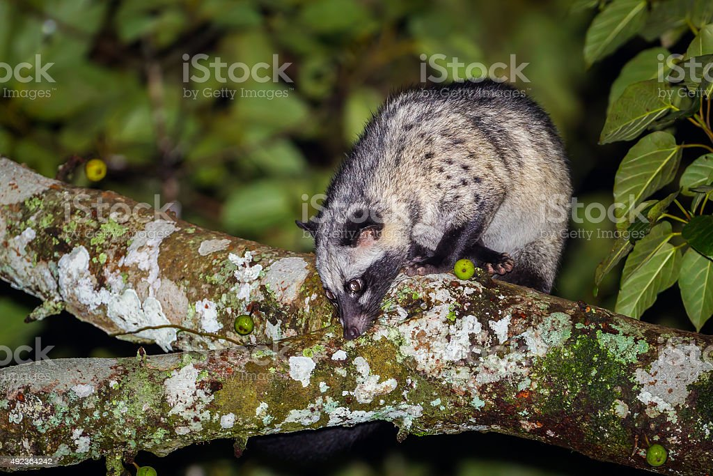 Portrait of nocturnal animals Asian palm civet stock photo