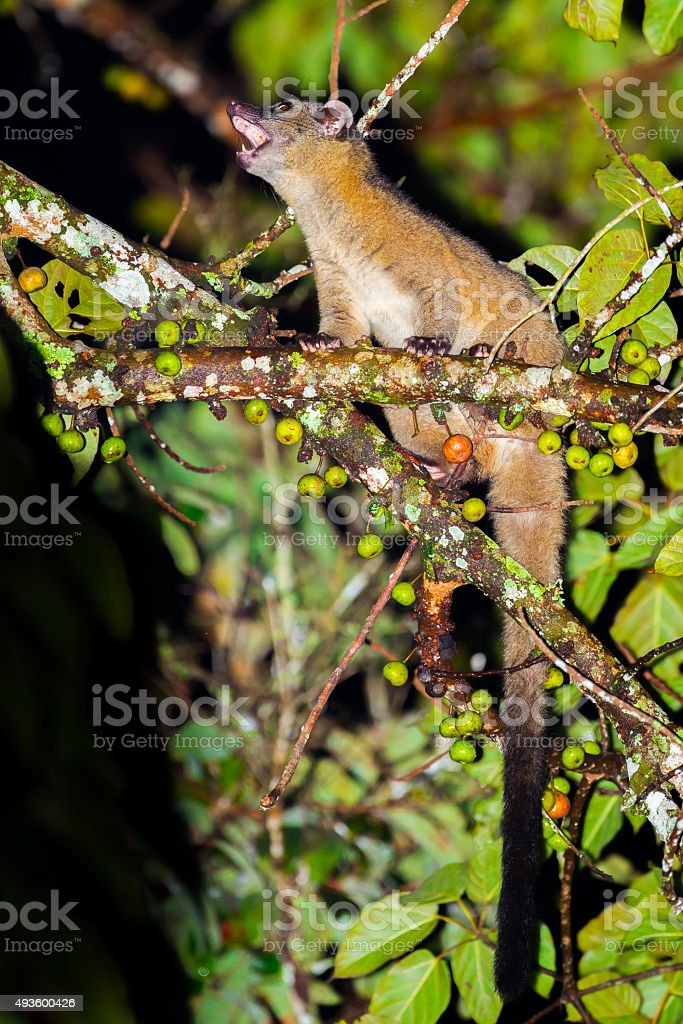 Portrait of nocturnal animals Small-toothed palm civet stock photo