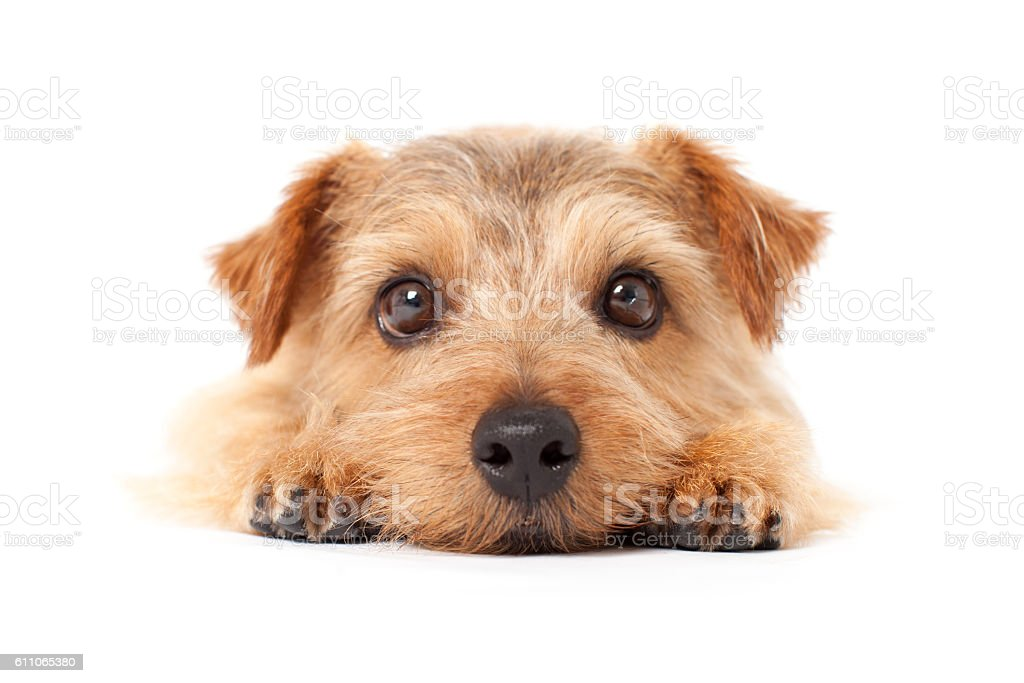 Portrait of Norfolk Terrier stock photo