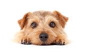 Portrait of Norfolk Terrier