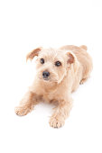 Portrait of Norfolk Terrier