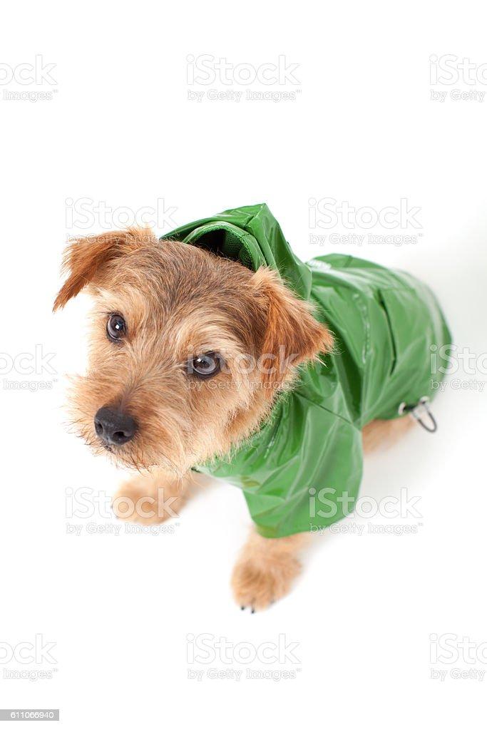 Portrait of Norfolk Terrier wearing raincoat stock photo