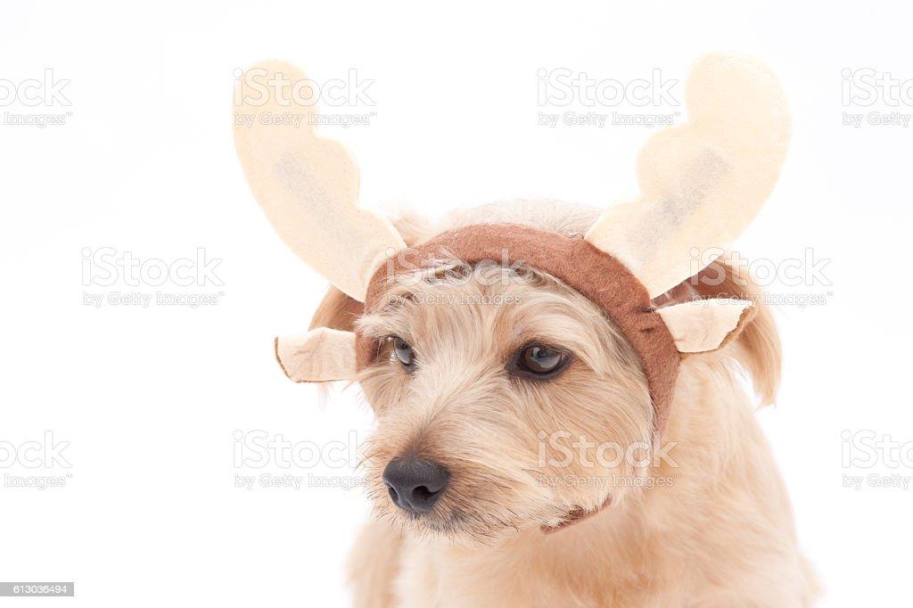 Portrait of Norfolk Terrier wearing reindeer horns stock photo