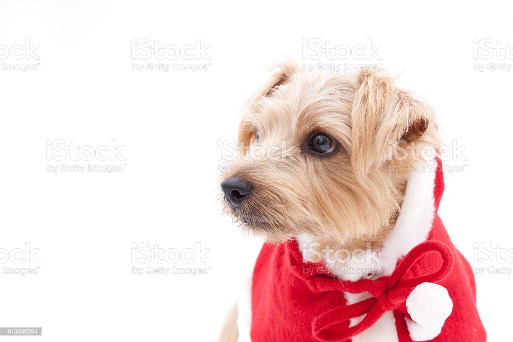 Portrait of Norfolk Terrier wearing santa costume stock photo