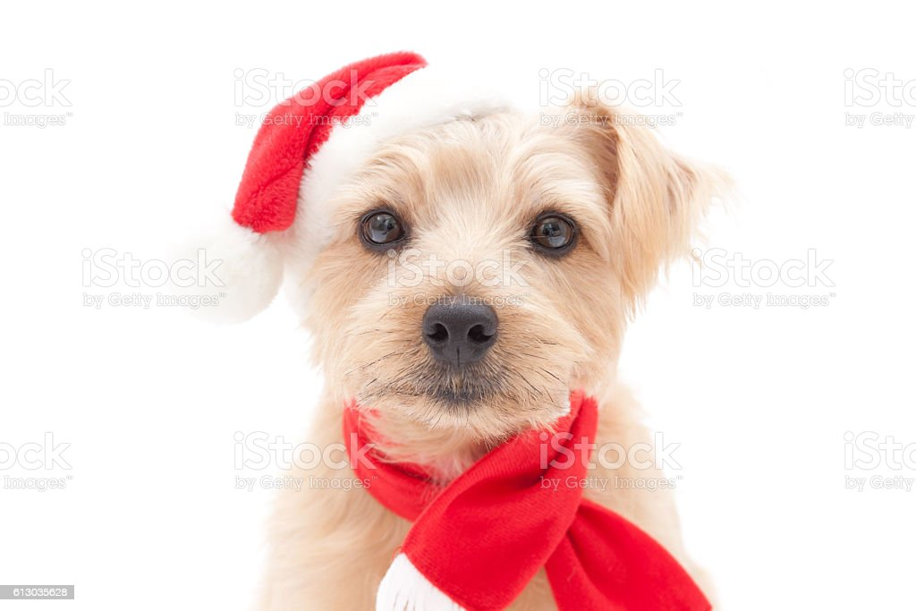Portrait of Norfolk Terrier wearing santa hat and scarf stock photo