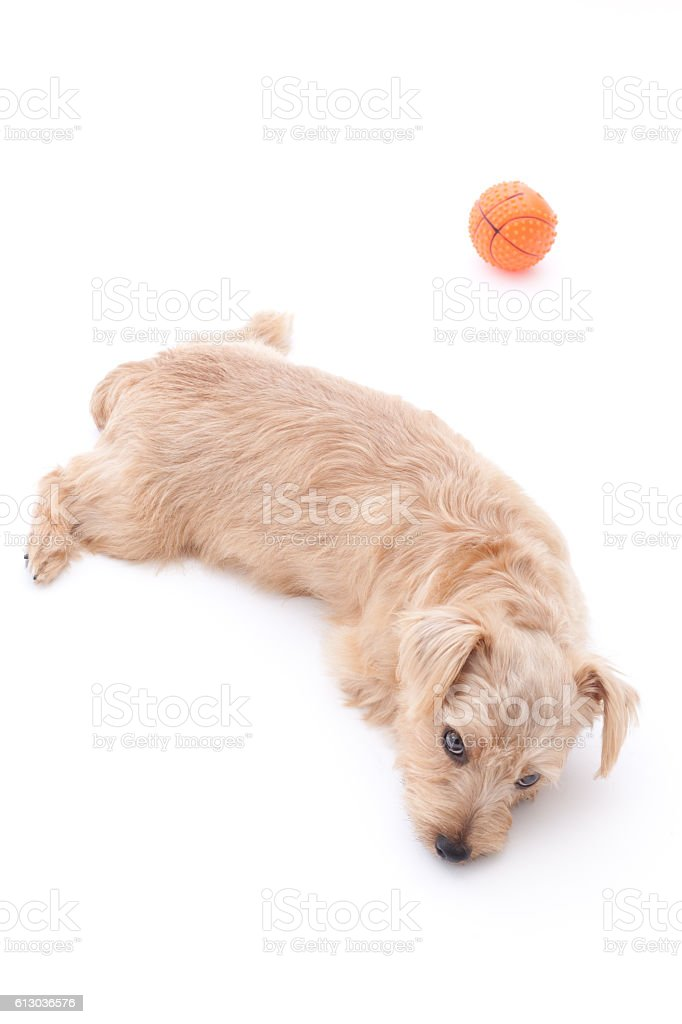 Portrait of Norfolk Terrier with a pet toy stock photo