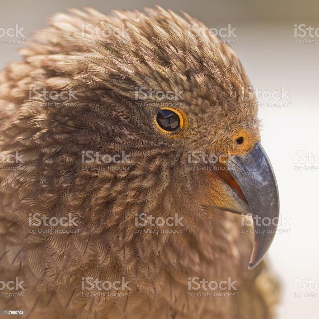 Portrait of NZ alpine parrot Kea, Nestor notabilis royalty-free stock photo