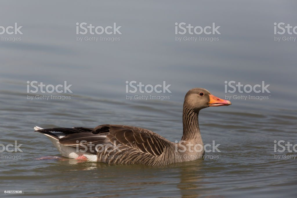 Portrait of one gray goose (anser anser) swimming in water stock photo