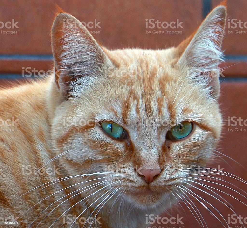 Portrait of orange cat stock photo