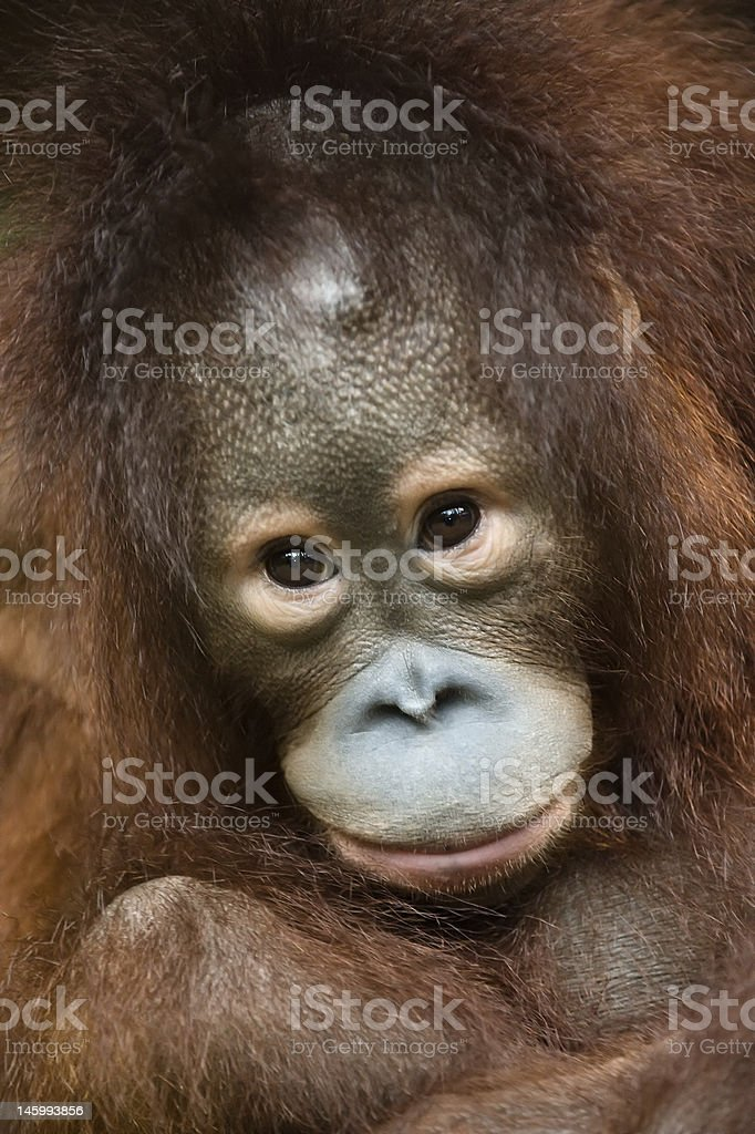 portrait of orangutan cub stock photo