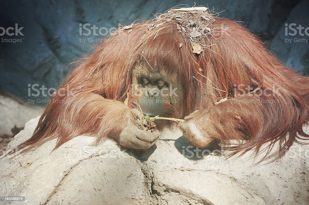 Portrait of Orangutan royalty-free stock photo