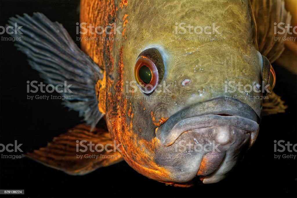 Portrait of oscar fish stock photo
