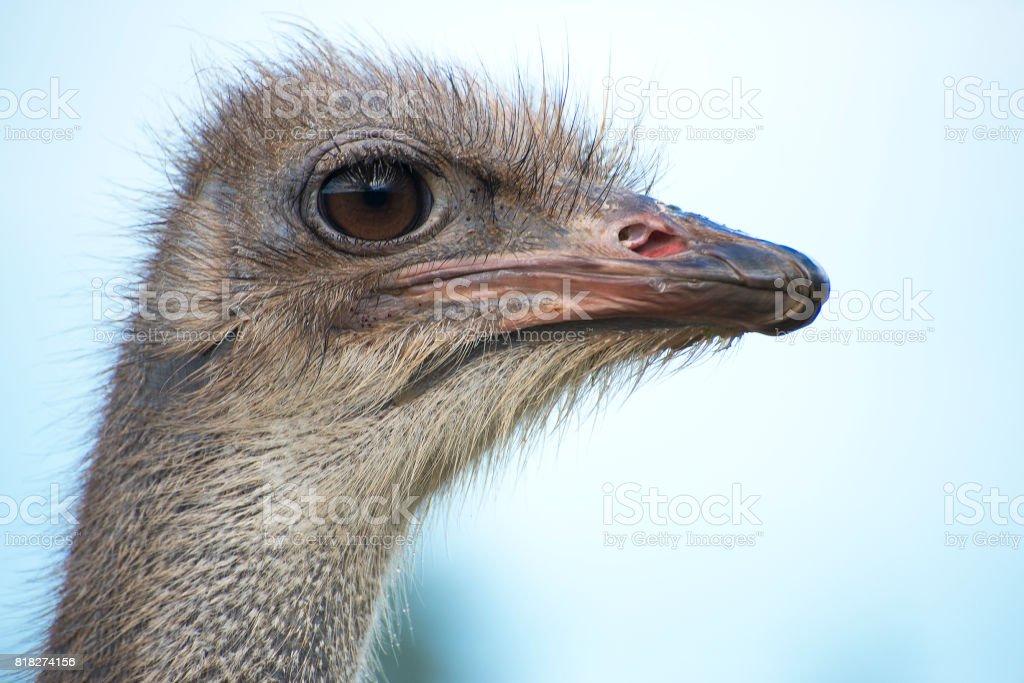 Portrait of ostrich bird head. stock photo