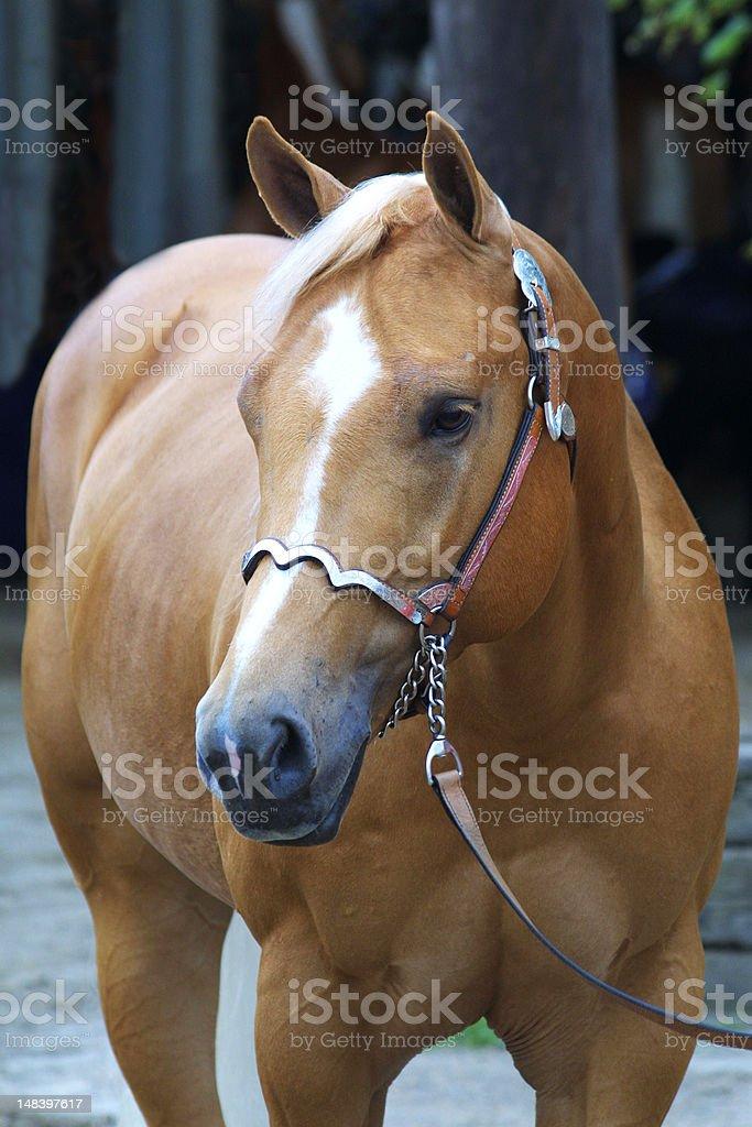 Portrait of palomino stock photo