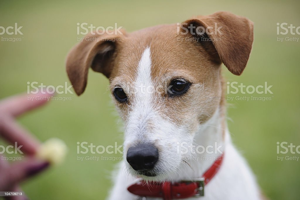Portrait of Parson Jack Russell Terrier looking at a treat royalty-free stock photo