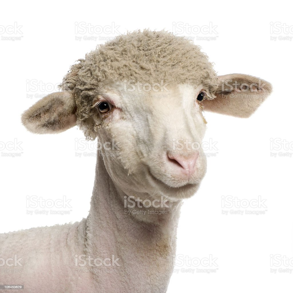 Portrait of partially shaved Merino lamb, 4 months old. stock photo