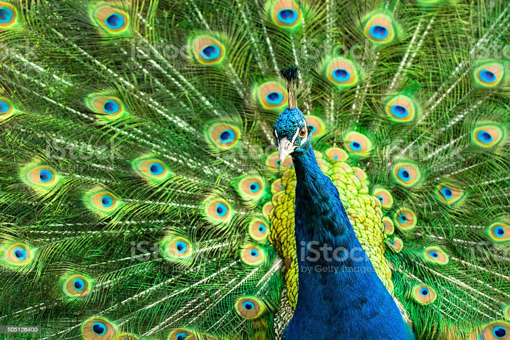 Portrait of peacock during mating ritual stock photo