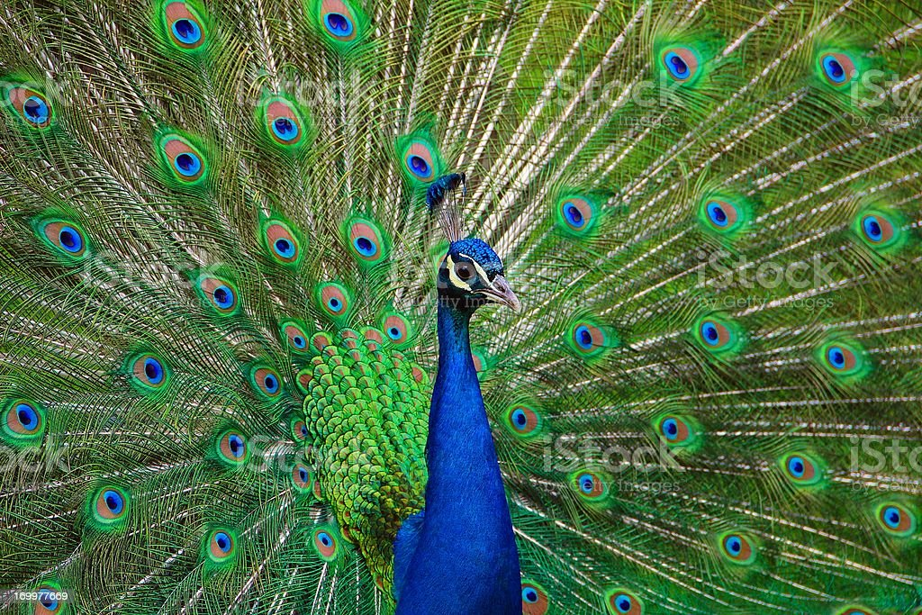 Portrait of Peacock with Feathers Out stock photo