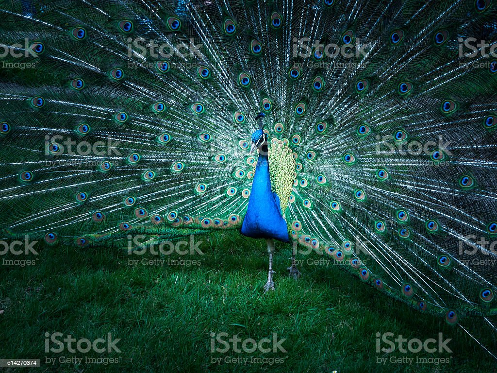 Portrait of peacock with spread feathers stock photo
