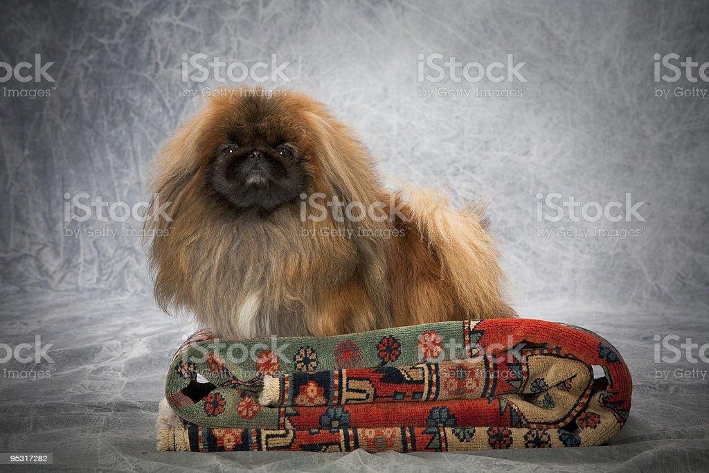 Portrait de chien Pékinois photo libre de droits