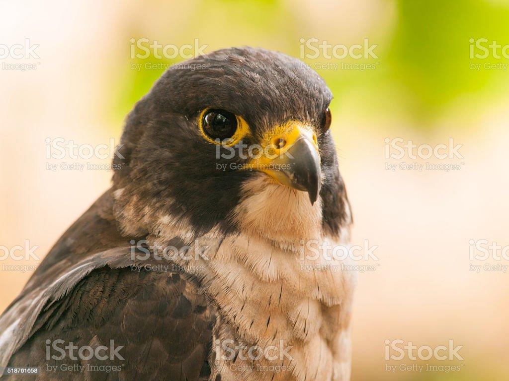 Portrait of peregrine falcon stock photo