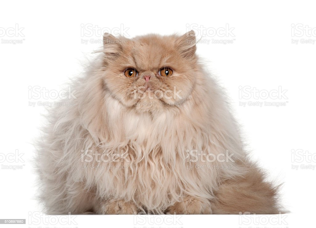 Portrait of Persian cat, 5 months old, sitting stock photo